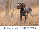 Hunting Dog Resting On The...