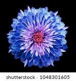 chrysanthemum  blue pink....   Shutterstock . vector #1048301605