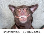 Stock photo dog lie on its back and show smiling dog teeth 1048325251