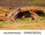 long nosed horned frog  also...