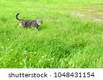 grey cat on a harness and leash ... | Shutterstock . vector #1048431154