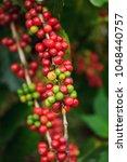 arabica coffee berries in... | Shutterstock . vector #1048440757