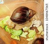 Small photo of Giant african Achatina fulica snail eats a cucumber taken closeup.