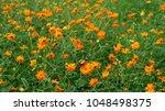 cosmos sulphureus or mexican...   Shutterstock . vector #1048498375