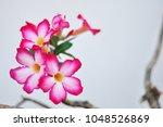 Plumeria Flower Is A White...