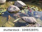 Decorative Fish Swim In Pond...