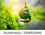 weaver bird  weaver finches ... | Shutterstock . vector #1048531444