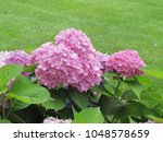 Beautiful Hydrangea Flowers Of...