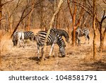 herd of zebras in the bandia... | Shutterstock . vector #1048581791