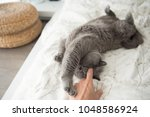 Stock photo a british short hair cat reaches out for her owner s hand while playing on a bed in a flat in 1048586924