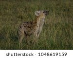 young hyena pup smelling the... | Shutterstock . vector #1048619159