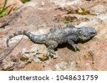 Small photo of Stellagama is a monotypic genus of agamid lizards containing the single species Stellagama stellio. Macro image of an individual from Turkey