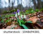 amazing wild crocus flowers in... | Shutterstock . vector #1048694381