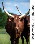Ankole Longhorn Cattle Ankole...