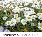 daisies flowers in  spring... | Shutterstock . vector #1048711811