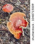 Small photo of Amanita Muscaria, poisonous mushroom