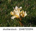 crocus 'cream beauty'   Shutterstock . vector #1048735394