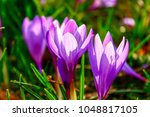 close up of blooming crocus in... | Shutterstock . vector #1048817105