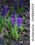 springtime  violet crocus... | Shutterstock . vector #1048869029