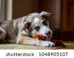 shepherd husky mix chewing a... | Shutterstock . vector #1048905107
