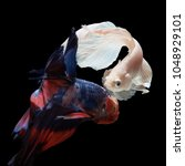 betta fish  siamese fighting... | Shutterstock . vector #1048929101