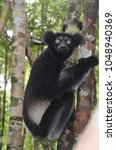 Small photo of Startled, Green-Eyed Black Indri Lemur Clinging to a Tree, Palmarium Reserve, Madagascar