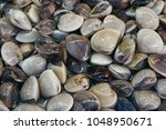 Small photo of fresh enamel venus shell (Meretrix lyrata) for sale in the fish market at Thailand. enamel venus shell abstract background. seafood on ice. marine bivalve molluscs in the Veneridae.