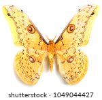 loepa megacore moth isolated on ... | Shutterstock . vector #1049044427