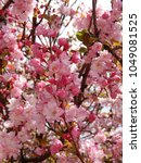 Small photo of oink full bloom cherry blossom tree at park Asia
