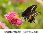 Eastern Black Swallowtail...