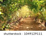 vineyard landscape with ripe... | Shutterstock . vector #1049129111