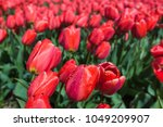 water drops on flowers   field... | Shutterstock . vector #1049209907