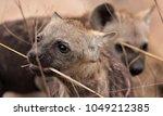 playful spotted hyena cubs | Shutterstock . vector #1049212385