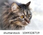 photo portrait of cat with long ... | Shutterstock . vector #1049328719