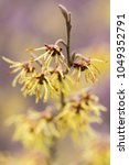 Witch Hazel  Hamamelis  ...