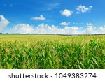 Green Corn Field And Blue Sky....
