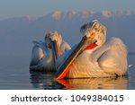 dalmatian pelican  pelecanus... | Shutterstock . vector #1049384015