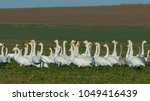 whooper swan  cygnus cygnus  on ... | Shutterstock . vector #1049416439