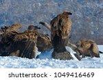 griffon vulture  gyps fulvus ... | Shutterstock . vector #1049416469