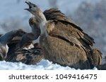 griffon vultures  gyps fulvus ... | Shutterstock . vector #1049416475