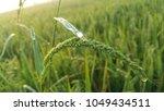 weeds in rice field | Shutterstock . vector #1049434511