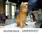 somali cat standing on a table  ... | Shutterstock . vector #1049454557