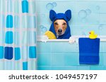 jack russell dog  in a bathtub... | Shutterstock . vector #1049457197