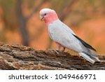 the galah  eolophus... | Shutterstock . vector #1049466971