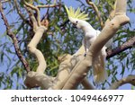 the sulphur crested cockatoo ... | Shutterstock . vector #1049466977