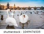 Beautiful Elegant White Swans...