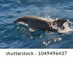 dolphin swim in clear waters of ... | Shutterstock . vector #1049496437