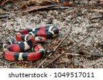 Scarlet Kingsnake (Lampropeltis elapsoides)