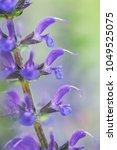 close up of a beautiful purple...   Shutterstock . vector #1049525075