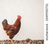 free range rhode island red...   Shutterstock . vector #1049550731
